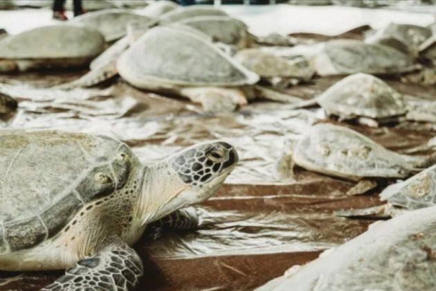 Διάσωση χελωνών από το πολικό ψύχος στο Τέξας
