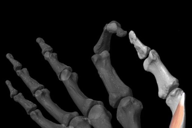 Καταλυτικό ρόλο ο αντίχειρας στην εξέλιξη του ανθρώπου